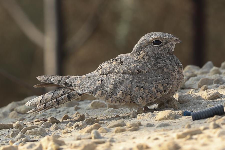 Last of the Egyptian Nightjars – Jubail