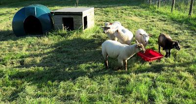 Lambs on the HenSafe Smallholding