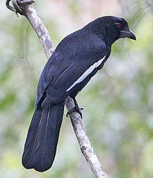 Burung Tangkar Kambing