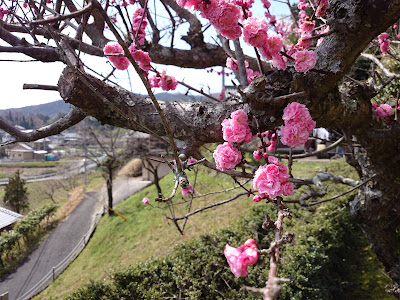 円福寺境内の梅