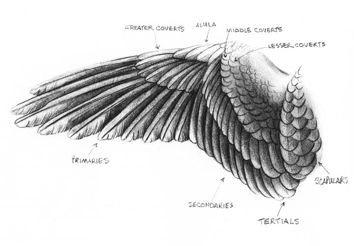 eagle anatomy diagram wiring 3 way switch with dimmer sandy scott art april 2013 417 in the studio bird con t