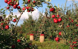 13-Manfaat-dan-Penggunaan-Apel-untuk-Kesehatan