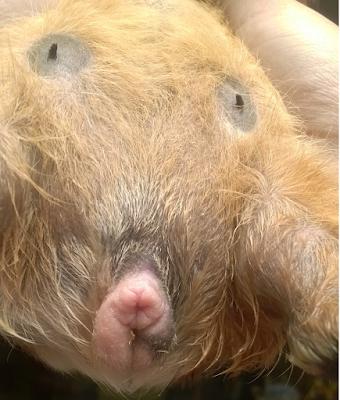 herida mejorada en el pene de un cobayo macho