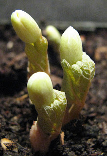 Sanguinaria canadensis growing