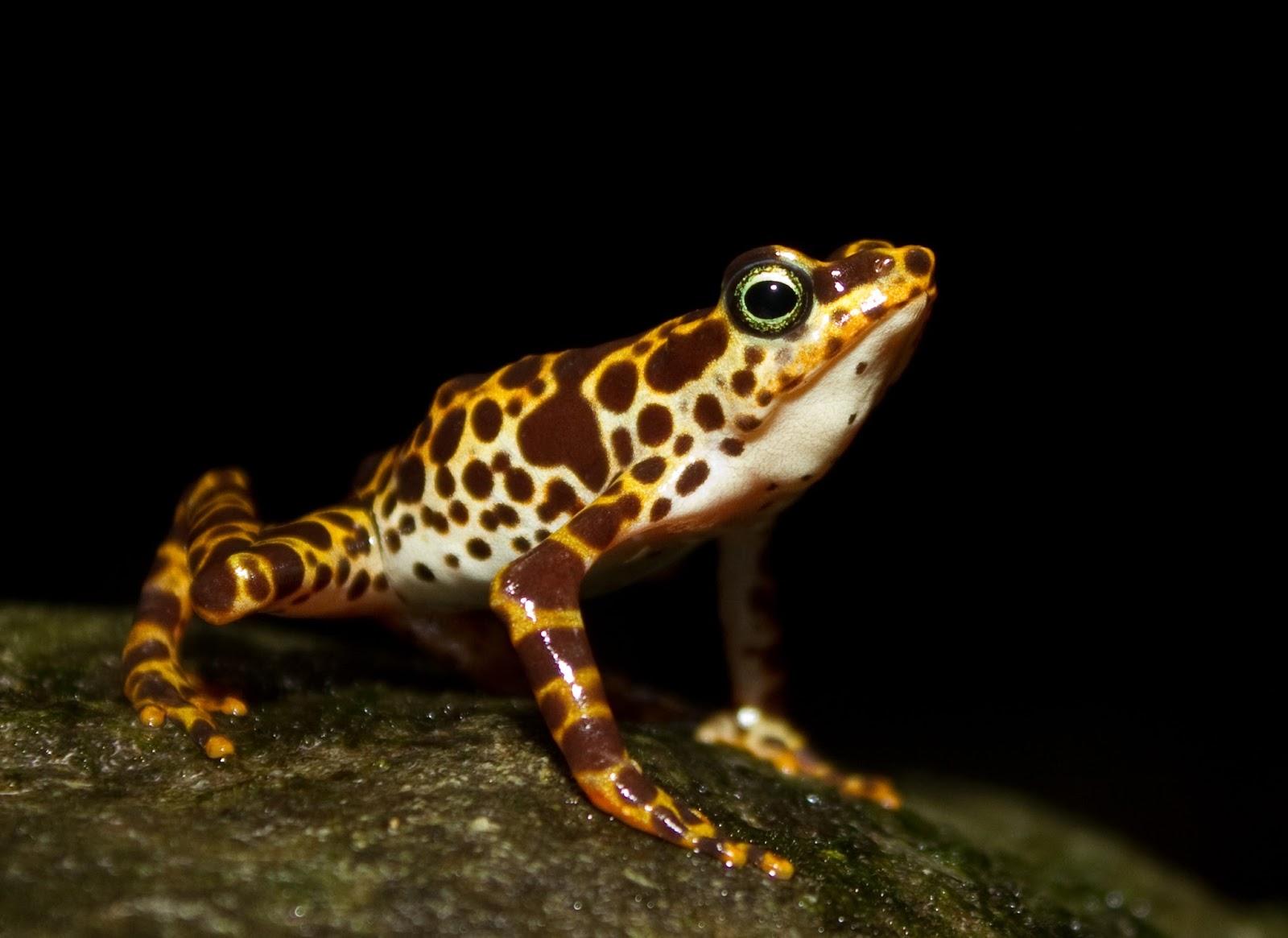 Amphibians: Atelopus certus calling male edit