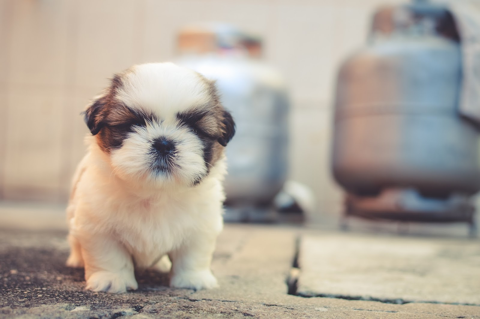 Daftar Harga Shih Tzu di Indonesia 201 Karakteristik dan kepribadian anjing Shih Tzu murni