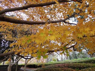 王仁公園 黄色いモミジ