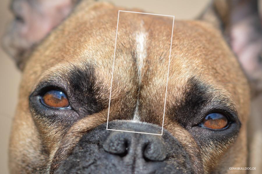 Hundeblog Französische Bulldogge Blesse