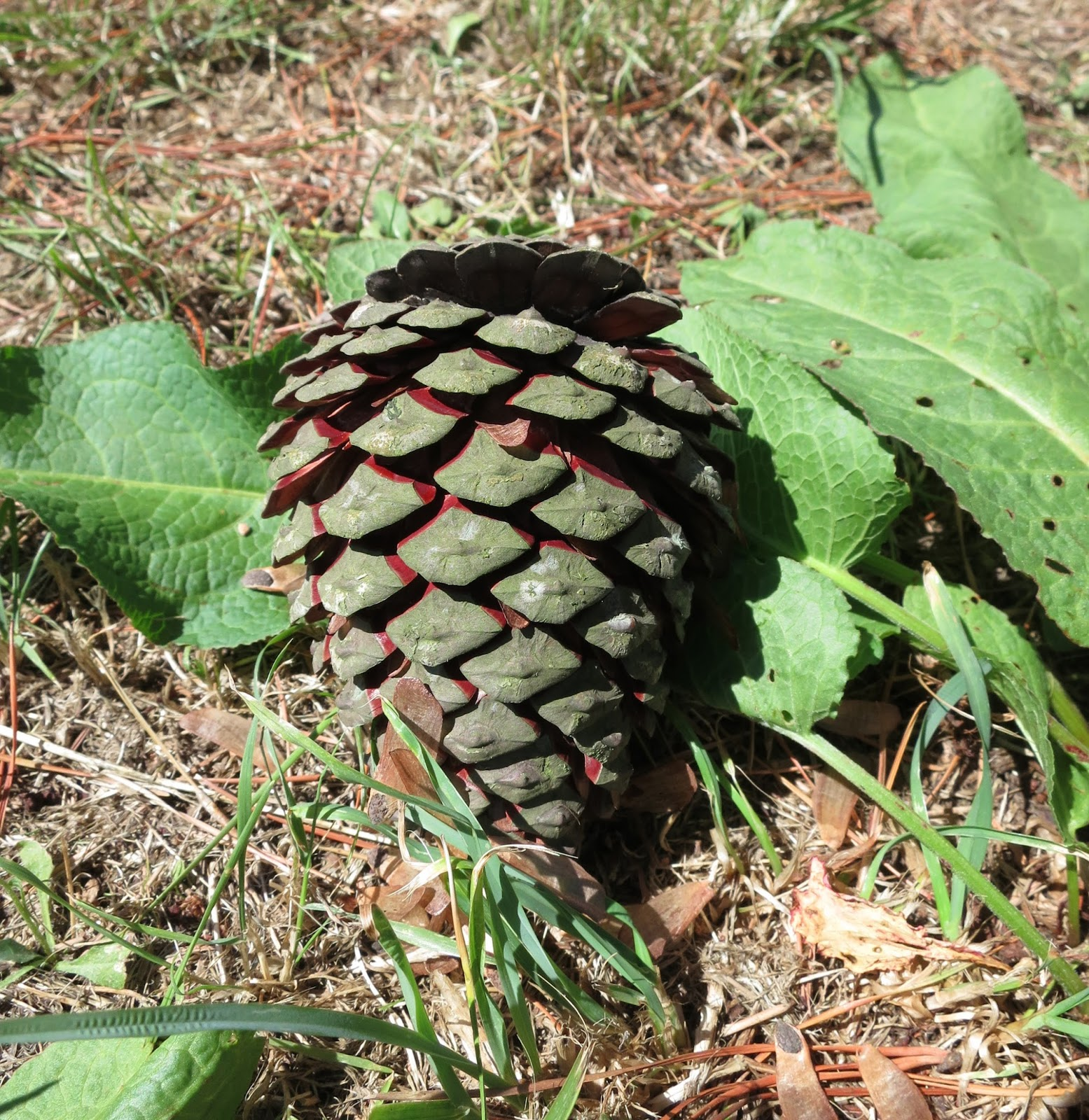 Pine cone with open scales lying among dock leaves.
