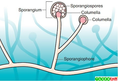 Asexual reproduction by Zygomycetes is characterized by the production of spores (sporangiospores) from within a sporangium.