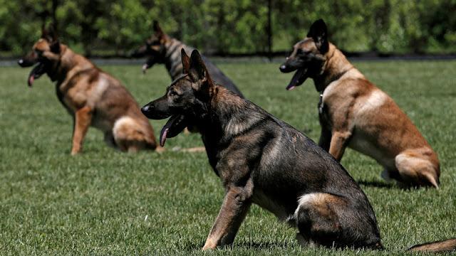 La Policía de los Países Bajos entrena perros para detectar violadores de una manera muy particular