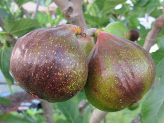 desert fig fruit images