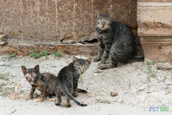 Havana kittens