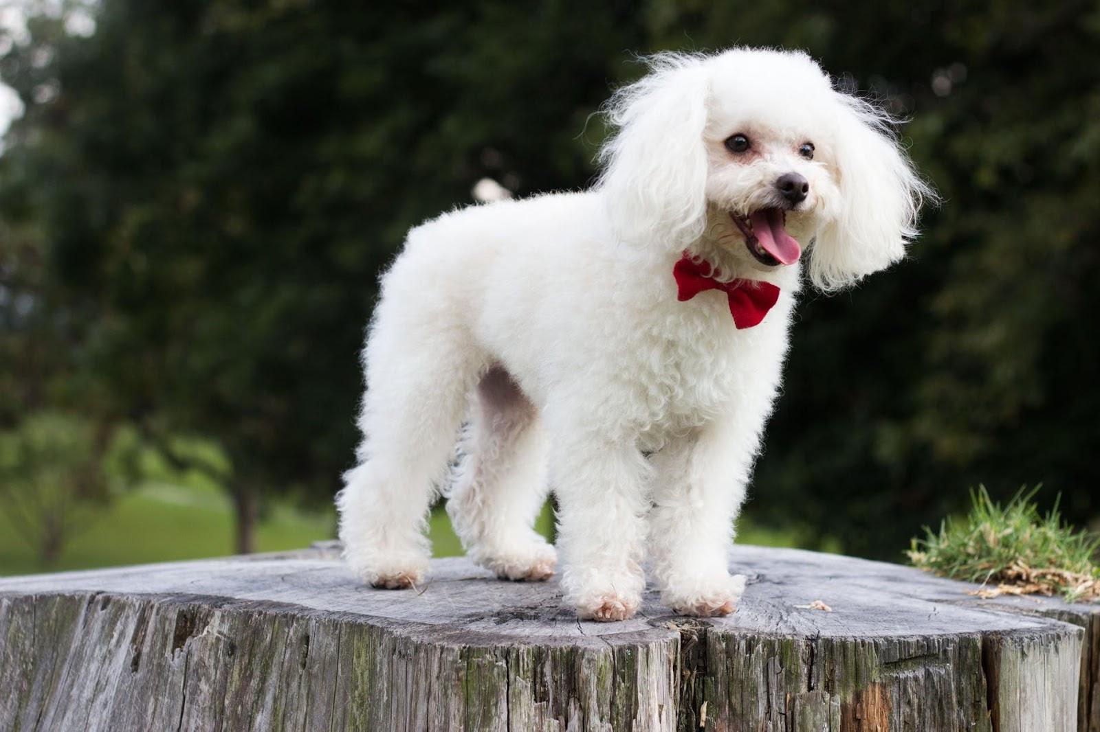 Anjing Pudel Profil Karakter Dan Cara Merawat