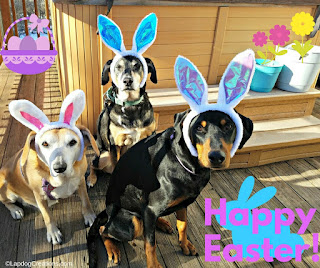 Easter dogs rescue bunny ears senior golden lab hound Doberman