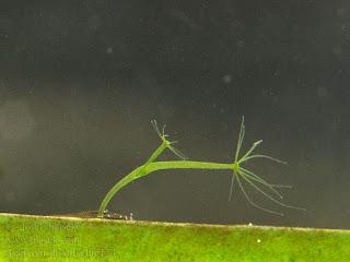Hydra viridissima