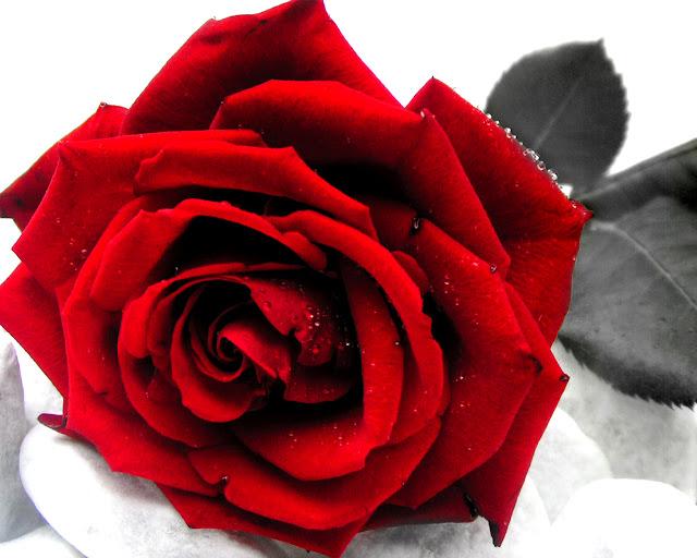 imagem de fundo rosa vermelha imagens de fundo