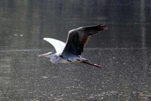 Grey Heron in flight, the largest among the Herons at Karanji Lake