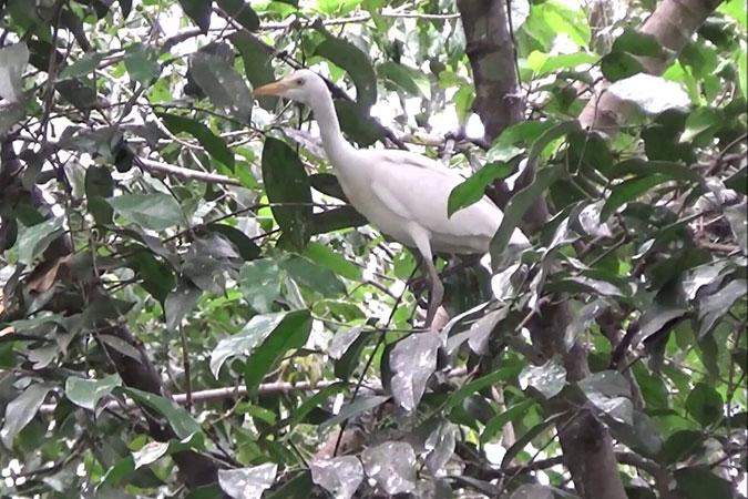 Dlium Eastern great egret (Ardea alba modesta)