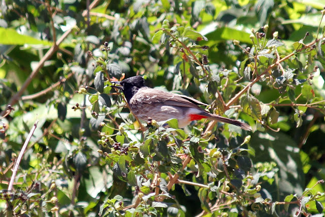 Red-vented Bulbul sitting on the tree with fruit in bill