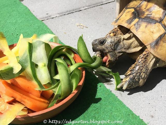 Schildkröte Schildi am Fressen