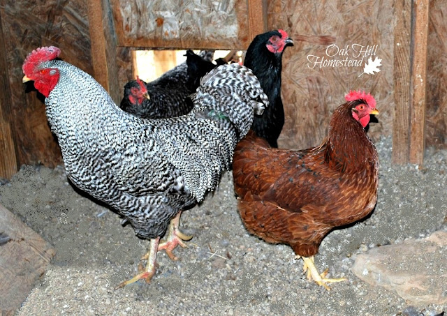 chickens live off-grid
