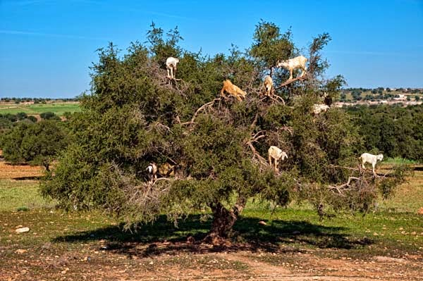 Which are clean and pressed to make Argan oil. - Imagine Driving Down The Road And Seeing THIS In The Trees. Seriously, This Is Crazy.