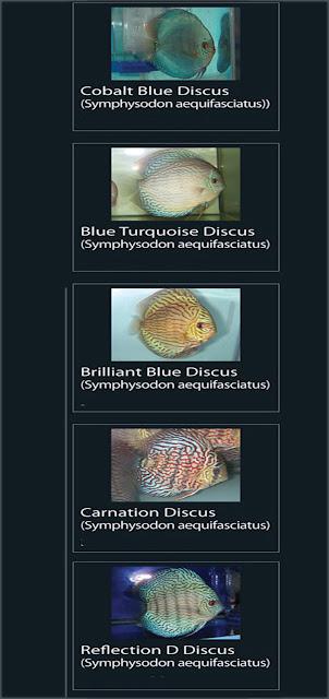 16. Cobalt Blue Discus  Nama Latin Symphysodon aequifasciatus  17. Blue Turquoise Discus  Nama Latin Symphysodon aequifasciatus18. Brilliant Blue Discus  Nama Latin Symphysodon aequifasciatus  19. Carnation  Discus  Nama Latin Symphysodon aequifasciatus  20. Reflection D Discus  Nama Latin Symphysodon aequifasciatus