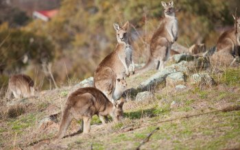 Wallpaper: Kangaroos