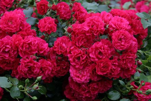 Flori din nemarginire paris franta for Rose tappezzanti