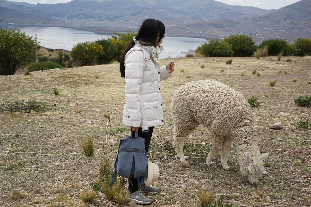 終於在普諾民宿近距離看到安地斯山脈的羊駝了!