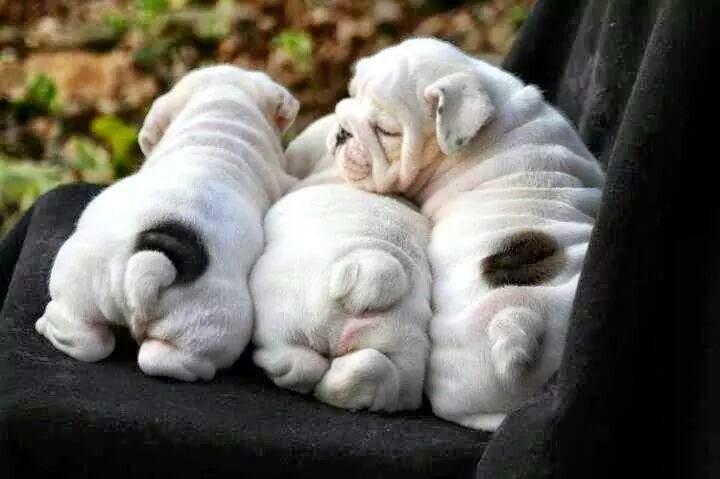 صور وسلالات كلاب مختلفه ورائعه