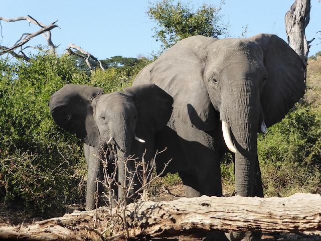Elefante macho y cría