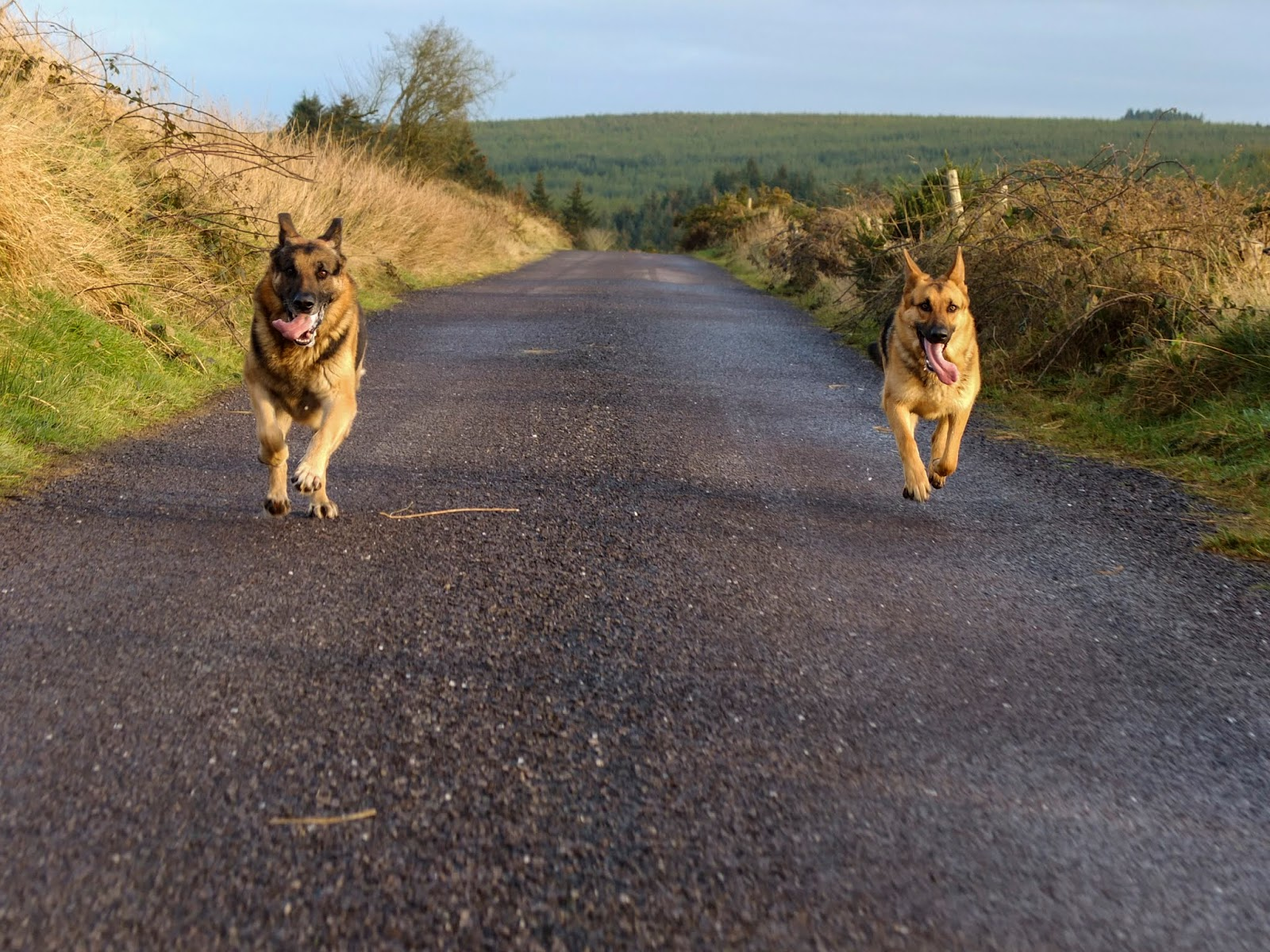 Two German Shepherds, Steve and Nala, running together on a road in the mountains.