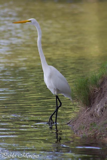 "alt=""garza blanca,Ardea alba,aves de Mendoza"""