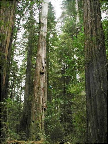 maior árvore do mundo