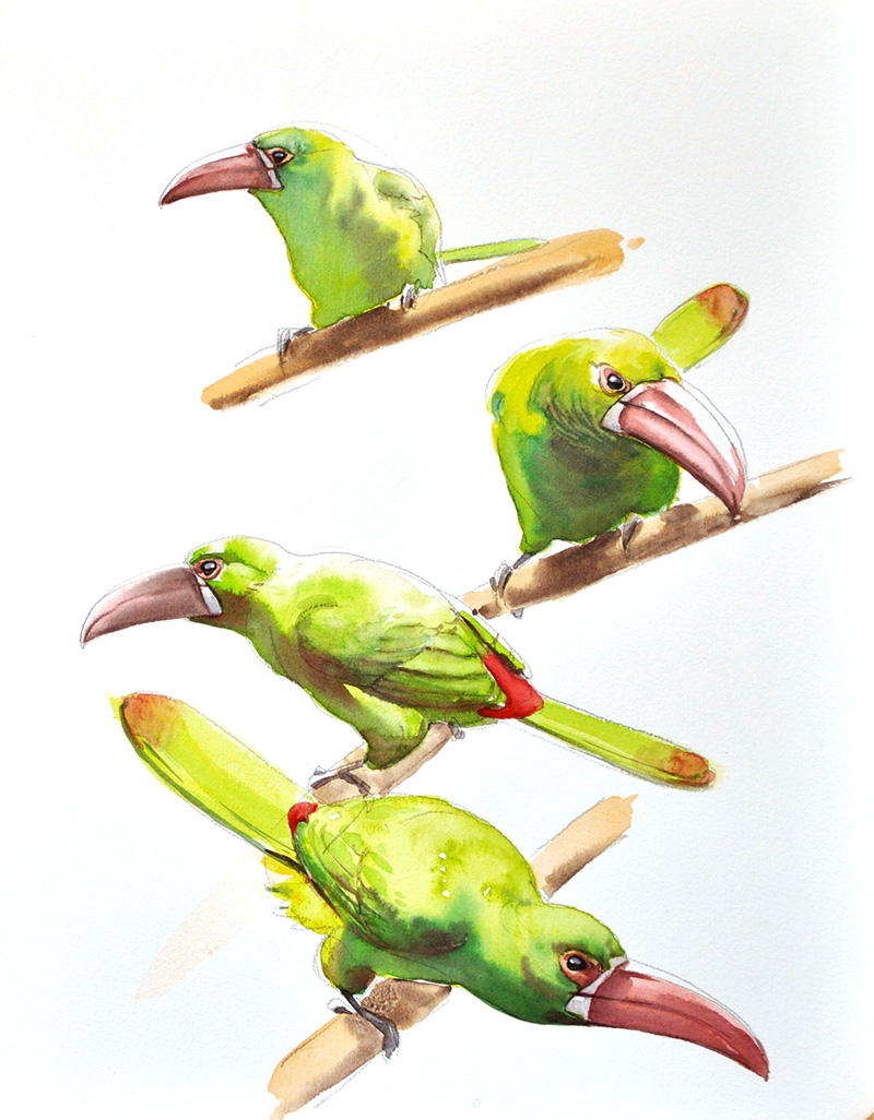 crimson rumped toucanet, watercolor