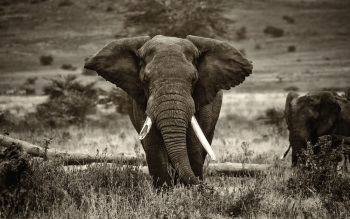 Wallpaper: Elephant in Africa