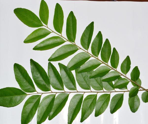 khasiat rempah, daun kari, tambah kalsium