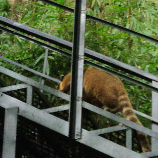 Quati Subindo a Escadaria do Caracol, Canela