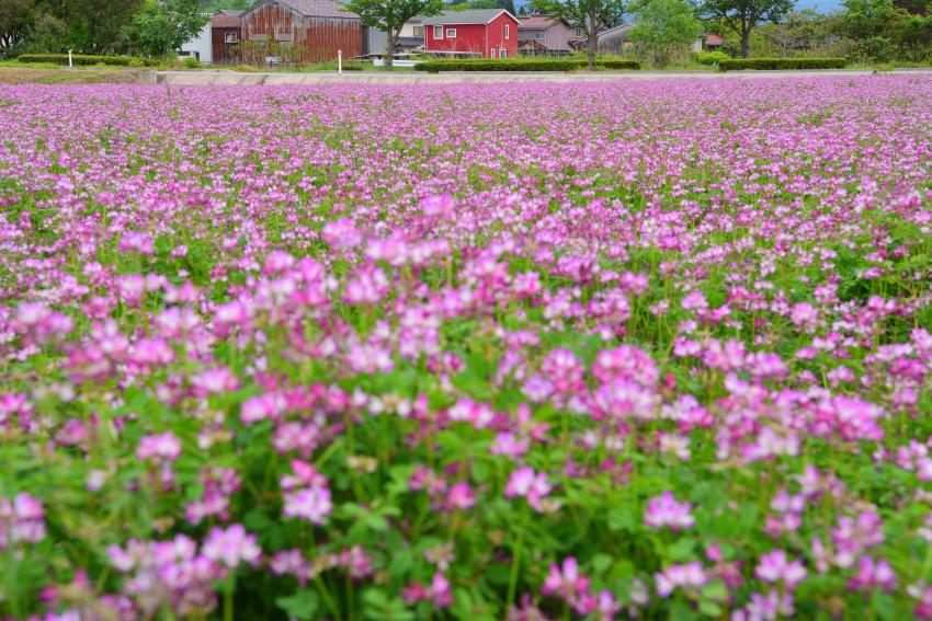 能美市石子町のレンゲ畑