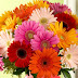 Çiçek Çeşitlerimiz Gerbera