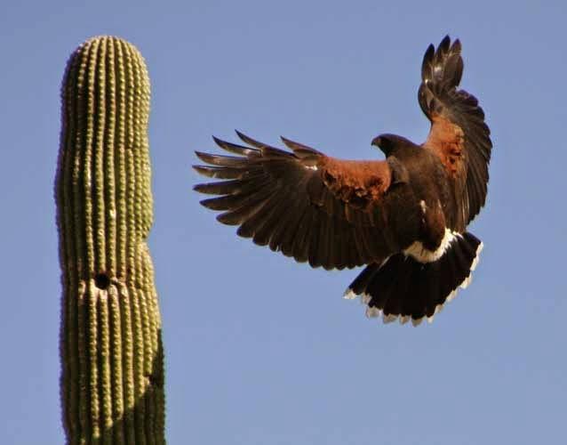 aguililla de Harris y saguaro