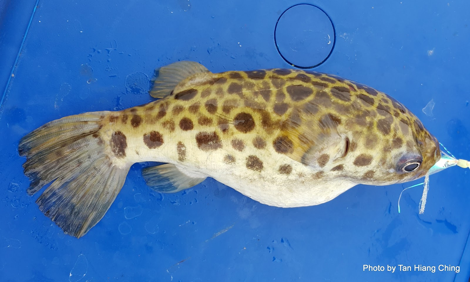 Fish and fishing in tanjung leman puffer and non edible for Names of fish to eat