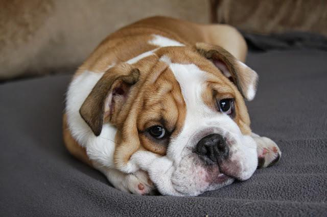 Como é feita a castração de cachorro?