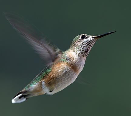 Jana Malinek Photography Hummingbirds Of Southern British