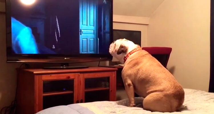 Bulldog assistindo filme de terror - Foto: Reprodução