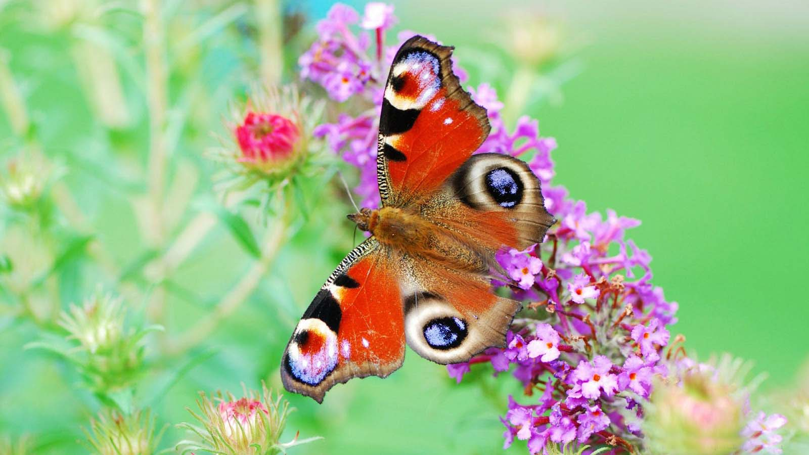 Beautiful Flower Image Wallpaper With Butterfly In Hd