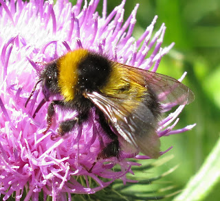 Garden Bumble Bee (Bombus (Thhoracombus) pascuorum) on a thistle