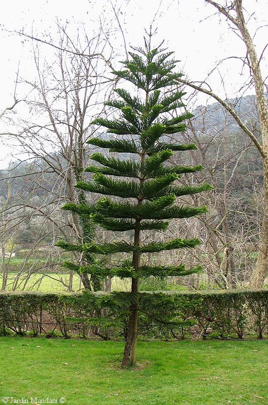 Sangrando en verde su religi n es la vida el sol es su for Variedades de pinos para jardin